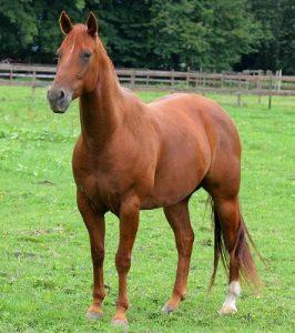 CBD olie paard