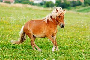 CBD pony