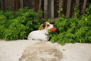Cannabisolie voor de hond