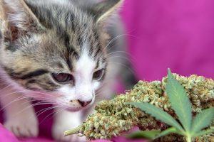 THC olie voor katten